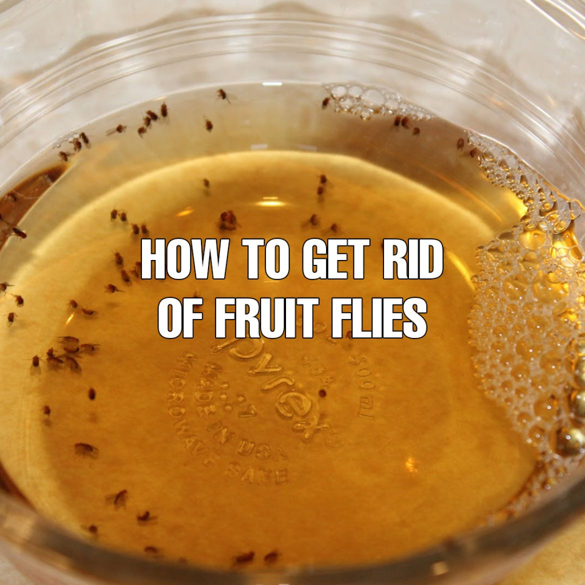 How To Get Rid Of Fruit Flies Selectre Boston